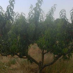 плодоносящий персиковый сад  500шт. деревьев 1