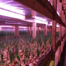 Рентабельный бизнес, производство зеленого лука 1