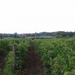 Производство столового винограда 2