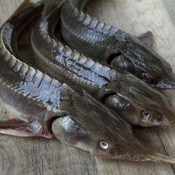 Рыбное хозяйство по выращиванию осетра, форели и других ценных пород рыб