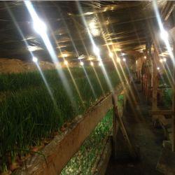 Тепличное хозяйство по выгонке зеленого лука 4