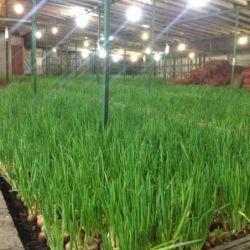 Тепличный комплекс по выращиванию зеленого лука