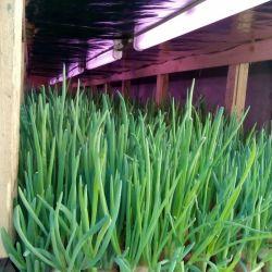 Рентабельный бизнес, производство зеленого лука 2