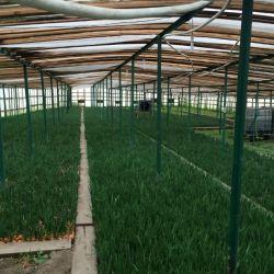 Производство зеленого лука 1700 кв. м 3