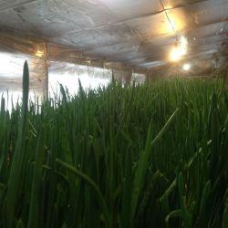 Тепличное хозяйство по выгонке зеленого лука 3