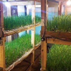 Производство по выращиванию зеленого лука в центре города. 1