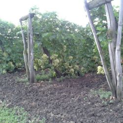 Производство столового винограда 3