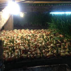 Тепличное хозяйство по выгонке зеленого лука 2