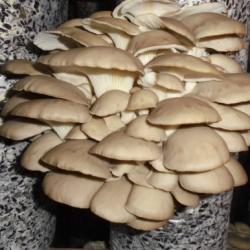 Производство грибов вешенка 5