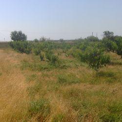 плодоносящий персиковый сад  500шт. деревьев 2