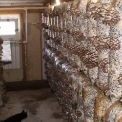 Производство грибов вешенка 3