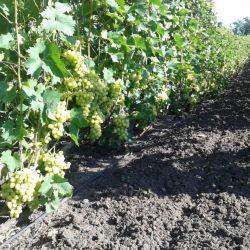 Производство столового винограда 4