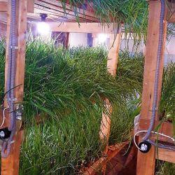 Производство по выращиванию зеленого лука в центре города. 2