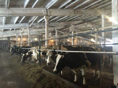 Пищевое производство. Откорм бычков