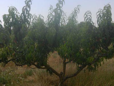 плодоносящий персиковый сад  500шт. деревьев