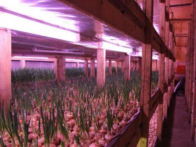 Рентабельный бизнес, производство зеленого лука