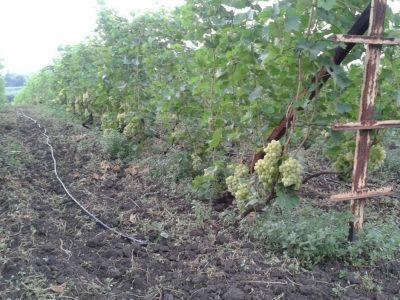 Производство столового винограда