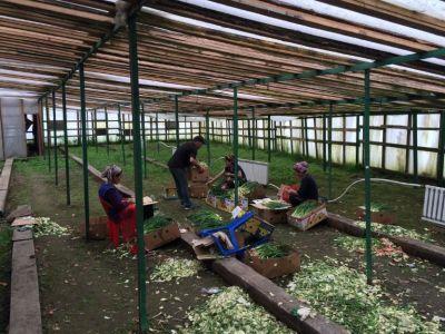Производство зеленого лука 1700 кв. м